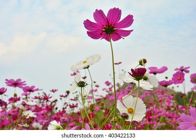 Cosmos colorful of beauty