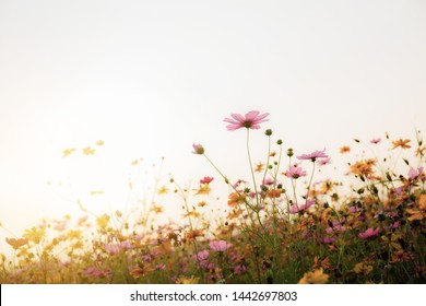 Cosmos in field with the beautiful at sunrise.