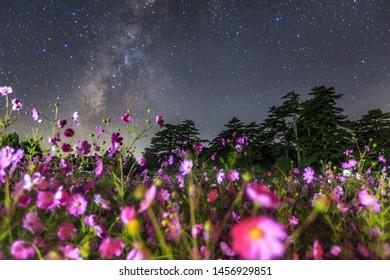 Cosmos field under the Milky way galaxy sky, Taichung,Taiwan
