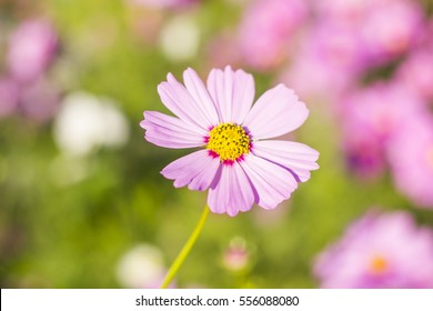 White and pink cosmo flower images stock photos vectors cosmos flower mightylinksfo