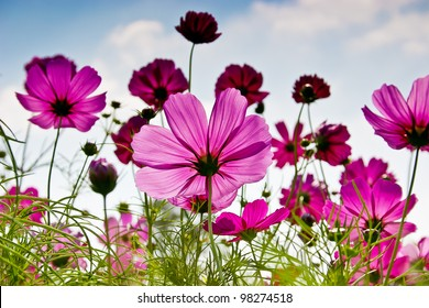 The Cosmos Flower