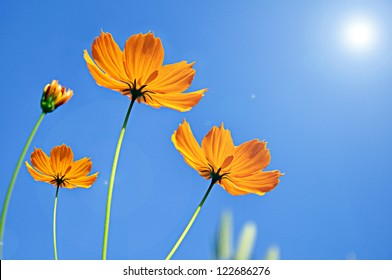 Cosmos flower against blue sky background