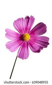 Cosmos flower against white background