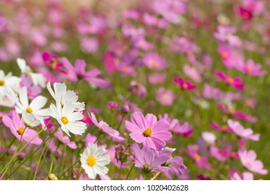 Cosmos flower, beautiful cosmos flowers with color filters and noon day sun