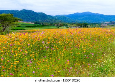 Cosmos flower beautiful whit yellow and pink in garden on countryside at Chiang Rai province, Thailand