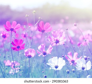 Cosmos flower (Cosmos Bipinnatus) with blurred background.