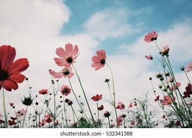 Cosmos flower (Cosmos Bipinnatus) with blurred bokeh background