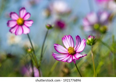 Cosmos flower (Cosmos Bipinnatus) - close up