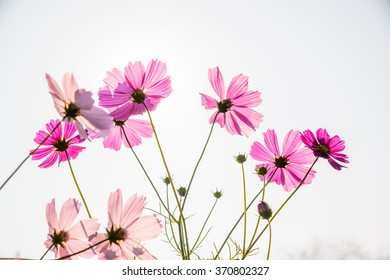 Cosmos flower (Cosmos Bipinnatus) in the garden.