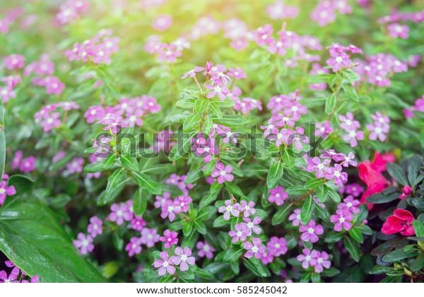Cosmos flower bloom sweet colorful sunshine in garden