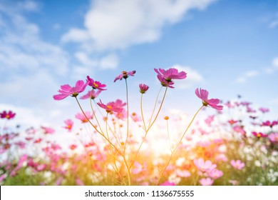 cosmos flower blooming in the field under sunshine