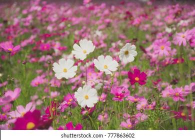 cosmos flower blooming in the field, vintage tone
