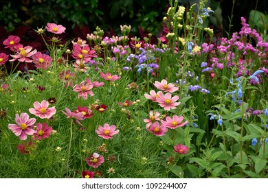 Cosmos flower blooms in St.James Park , London,  England