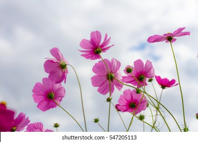 Cosmos flower with blue sky in the garden