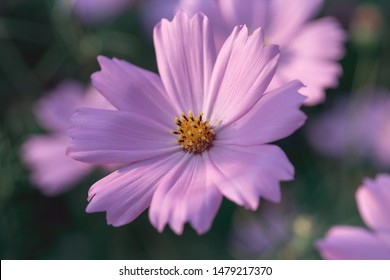 Cosmos flower close-up in nature