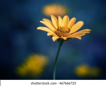 Cosmos flower. Color toned image. Selective focus with shallow depth of field.