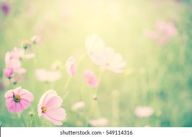 Cosmos flower field blur background.