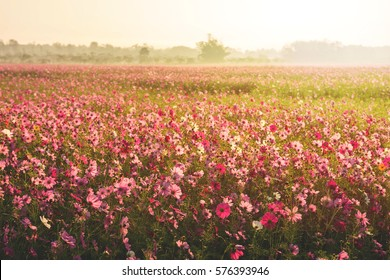 Cosmos flower field with fog and morning sunlight, Big forest as background, Selective focus at front