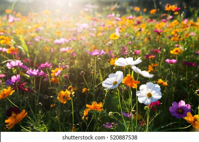 Cosmos flower field in the morning.