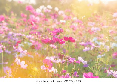 cosmos flower field in the morning at singpark in chiangrai, Thailand