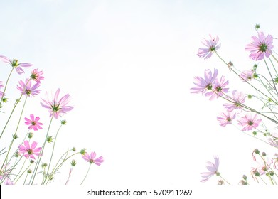cosmos flower field, natural object, clipping with sky background