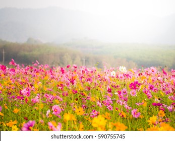 cosmos flower field on mountain