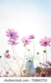 Cosmos flower field, pink and purple, clipping with sky background