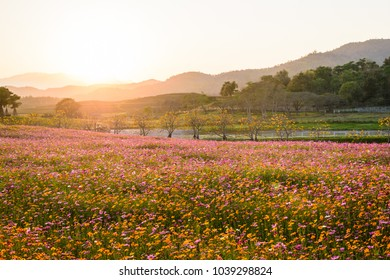 Cosmos flower field in sunset