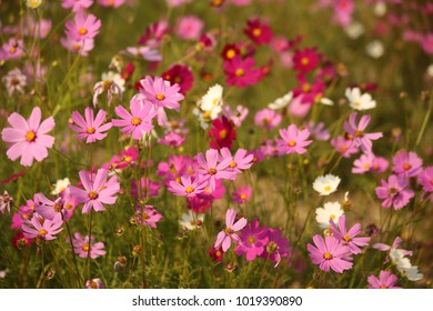 cosmos in the flower fields in  Thailand