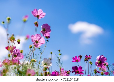 Cosmos Flower in the garden with sky, blooming beautiful flower.