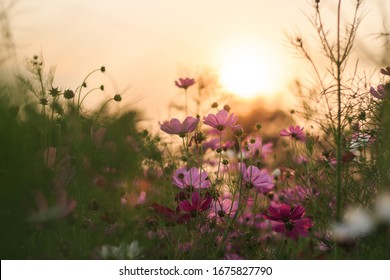 The cosmos flower garden at sunset has an orange background.