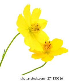 Cosmos Flower isolated on white background.