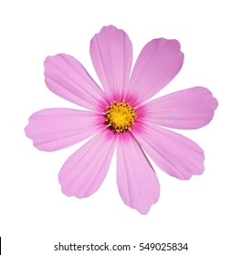 Cosmos flower isolated on white background