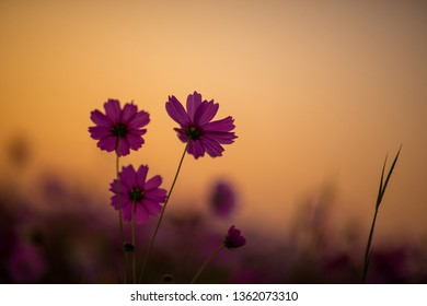 cosmos flower looming in the field, sunsire