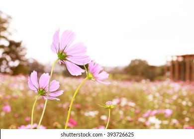 Cosmos flower meadow vintage retro