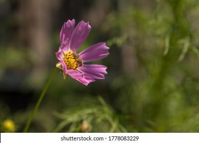 Cosmos flower in morning light in summer season