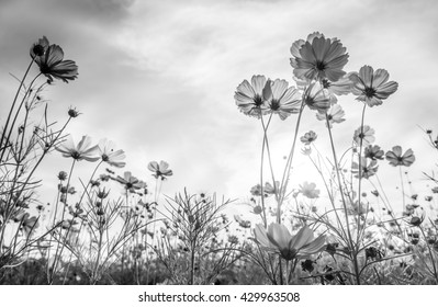 Cosmos flower on black and white background