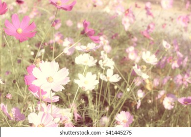 cosmos flower on green natural vintage background