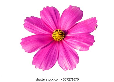 cosmos flower on white background. Isolate Cosmos flower.