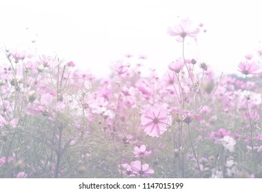 Cosmos flower pastel color style and blur background soft light.