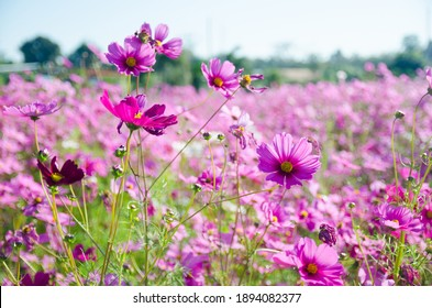 Cosmos flower photos in an outdoor flower garden look gorgeous, perfect for background images.