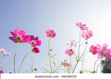 Cosmos flower with sky.