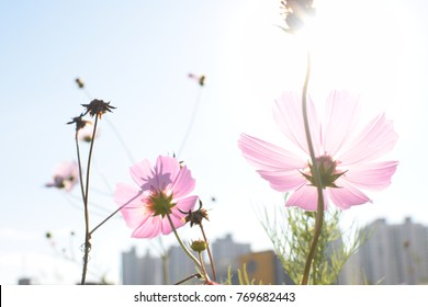 Cosmos Flower in summer.