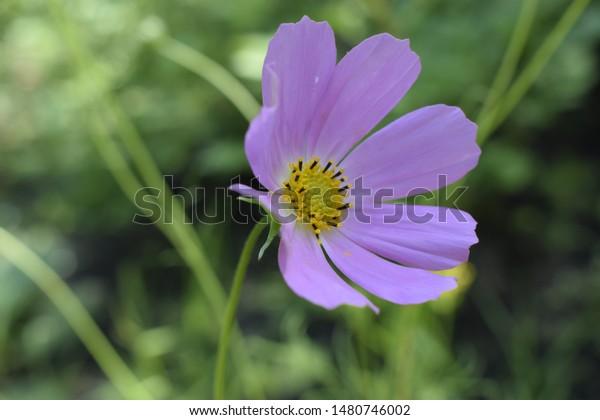 Cosmos Flower Summer Garden Decorative Pink Stock Photo Edit Now 1480746002