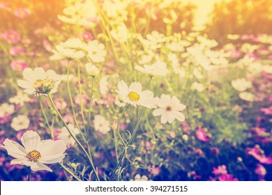 cosmos flower and sunlight in field meadow with vintage tone.