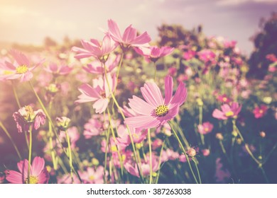 cosmos flower and sunlight with vintage tone.
