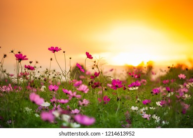 Cosmos flower with sunrise