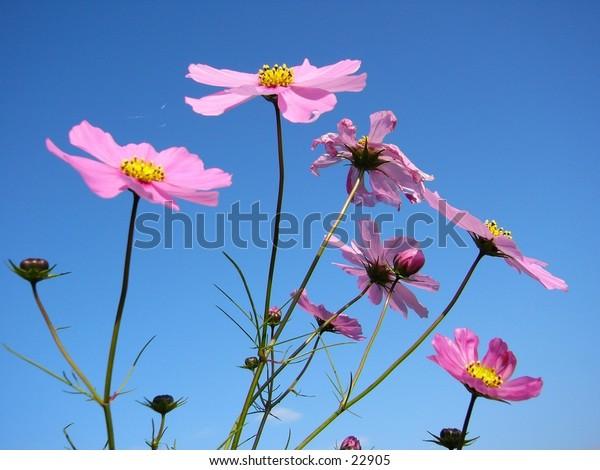 Cosmos flowers against a blue sky