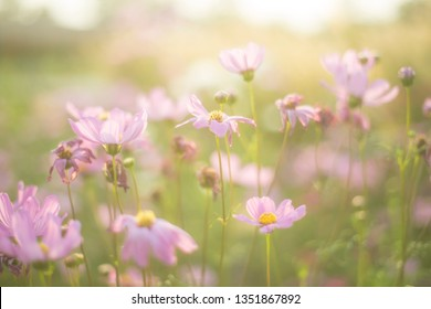Cosmos flowers background in sunrise vintage style