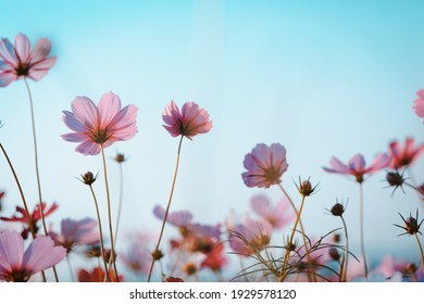 Cosmos flowers beautiful in the garden background
